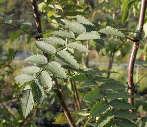 Jeřáb Koehneův - Sorbus koehneana