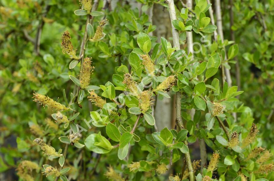 Vrba Cottetova - Salix cottetii