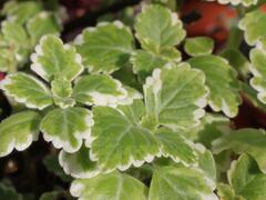 Moud, plektrantus 'Variegatus' - Plectranthus coleoides 'Variegatus'