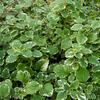 Moud, 'Variegatus' - Plectranthus coleoides 'Variegatus'