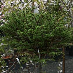 Modřín japonský 'Grey Pearl' - Larix kaempferi 'Grey Pearl'