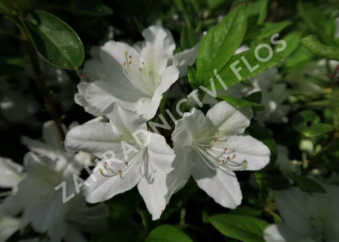 Azalka japonská 'White Lady' - Azalea japonica 'White Lady'