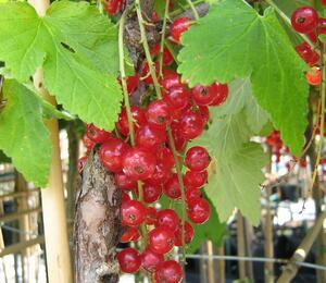 Rybíz červený 'Detvan' - Ribes rubrum 'Detvan'