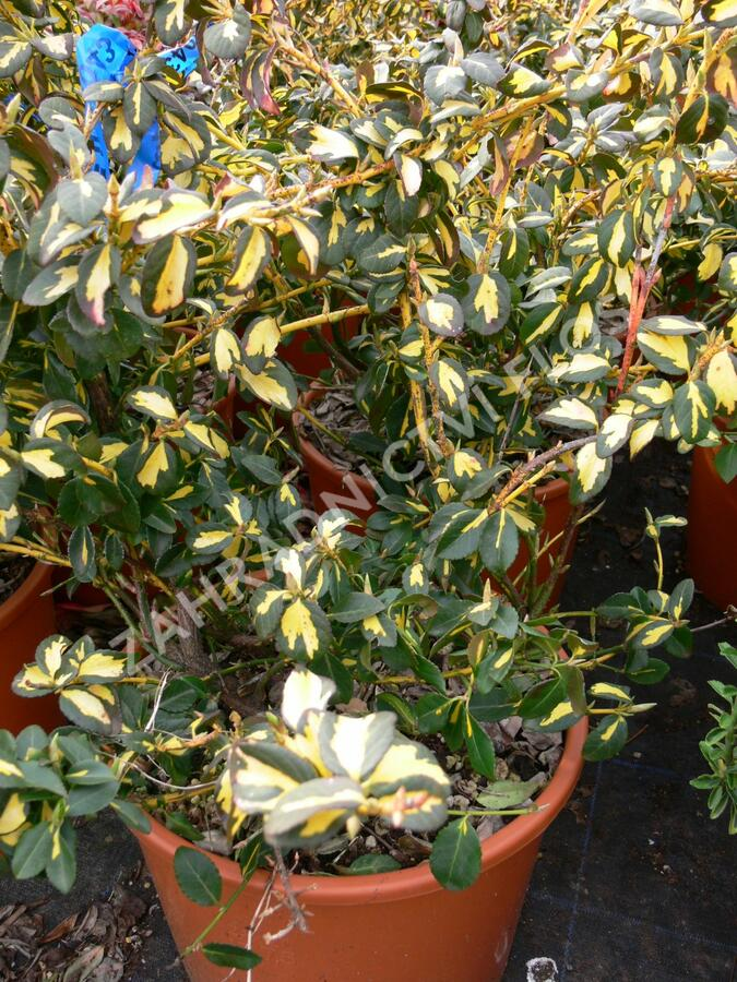 Brslen Fortuneův 'Blondy' - Euonymus fortunei 'Blondy'