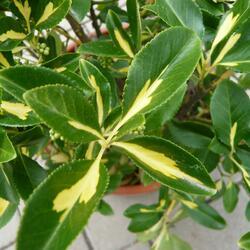 Brslen Fortuneův 'Blondy - Euonymus fortunei 'Blondy'