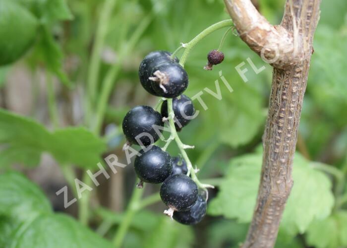 Rybíz černý 'Viola' - Ribes nigrum 'Viola'