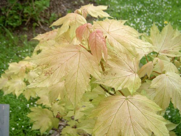 Javor klen 'Brilliantissimum' - Acer pseudoplatanus 'Brilliantissimum'