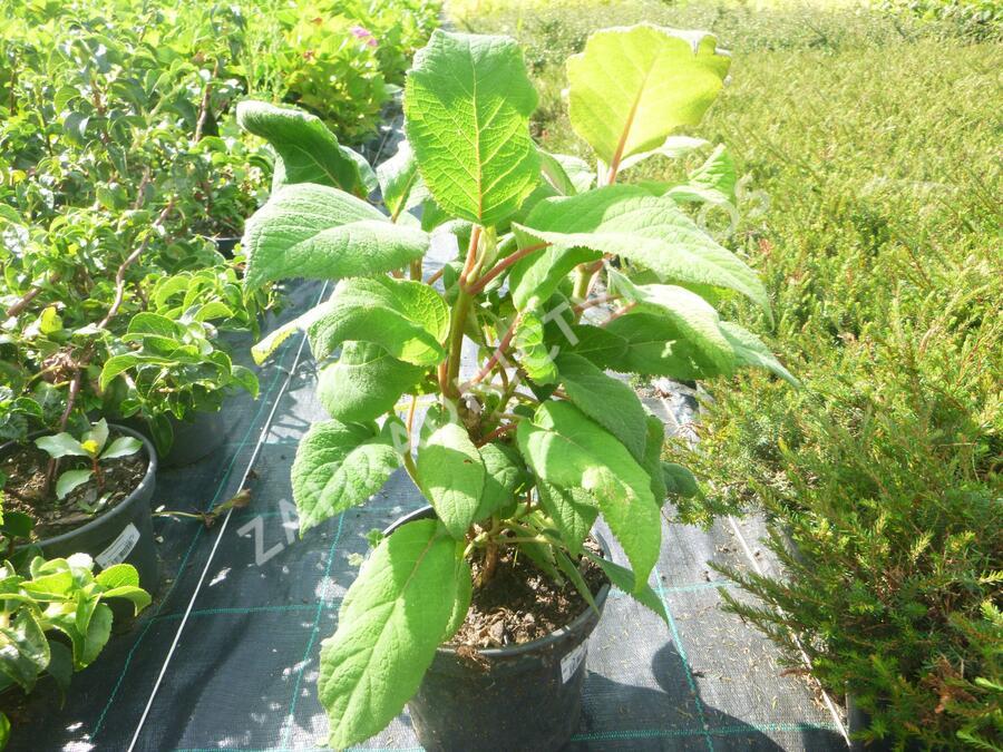 Hortenzie drsná 'Macrophylla' - Hydrangea aspera 'Macrophylla'