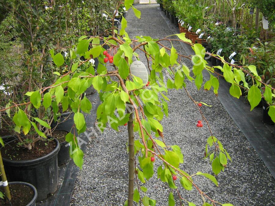 Okrasná jabloň 'Red Jade' - Malus 'Red Jade'