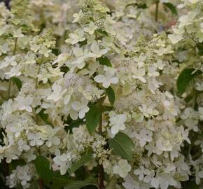 Hortenzie latnatá 'Confetti' - Hydrangea paniculata 'Confetti'