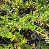 Skalník přitisklý - Cotoneaster adpressus