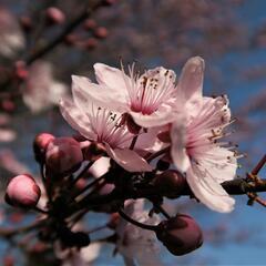 Slivoň myrobalán 'Nigra' - Prunus cerasifera 'Nigra'