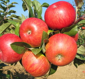 Jabloň zimní 'Topaz' - Malus domestica 'Topaz'