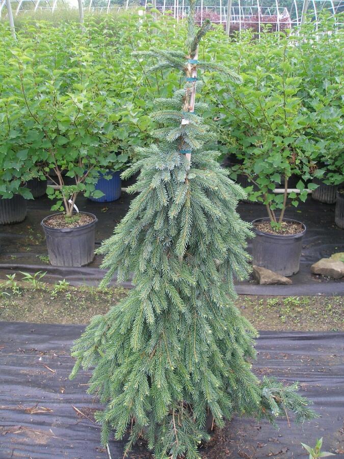 Smrk omorika 'Pendula' - Picea omorika 'Pendula'