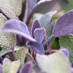 Šalvěj lékařská 'Purpurascens' - Salvia officinalis 'Purpurascens'