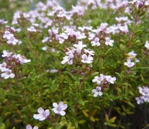 Tymián obecný 'Compactus' - Thymus vulgaris 'Compactus'
