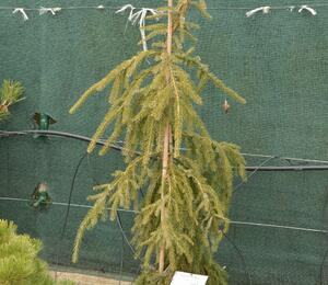 Smrk omorika 'Bruns' - Picea omorika 'Bruns'