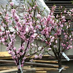 Mandloň trojlaločná - Prunus triloba