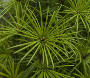 Pajehličník přeslenatý - Sciadopitys verticillata