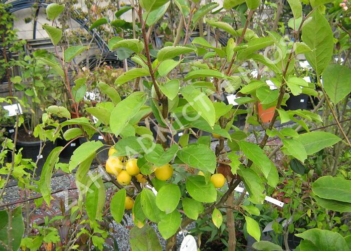 Okrasná jabloň 'Golden Hornet' - Malus 'Golden Hornet'