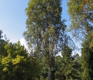 Bříza bělokorá 'Fastigiata' - Betula pendula 'Fastigiata'