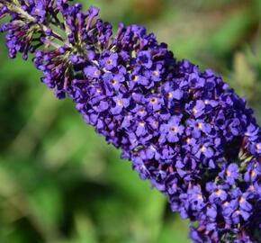 Motýlí keř, Komule Davidova 'Adonis Blue' - Buddleia davidii 'Adonis Blue'