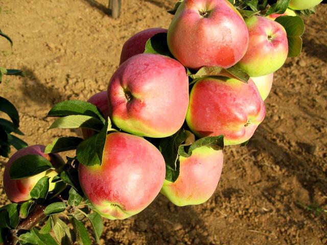 Jabloň zimní - sloupovitá 'Kordona' - Malus domestica 'Kordona'