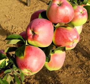 Jabloň zimní 'Kordona' - Malus domestica 'Kordona'