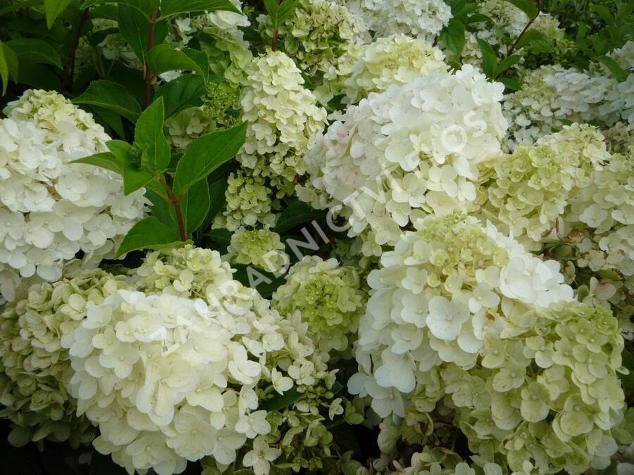 Hortenzie latnatá 'Silver Dollar' - Hydrangea paniculata 'Silver Dollar'