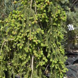 Smrk ztepilý 'Frohburg' - Picea abies 'Frohburg'