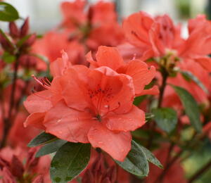 Azalka japonská 'Orange Beauty' - Azalea japonica 'Orange Beauty'