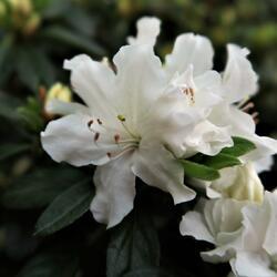 Azalka japonská 'Adonis' - Azalea japonica 'Adonis'