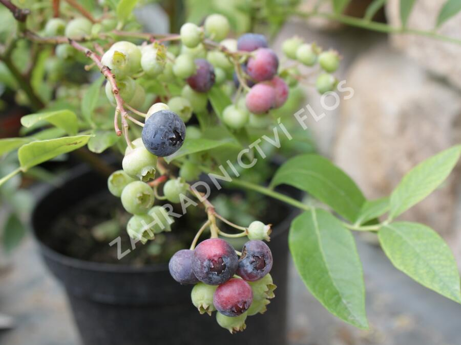 Borůvka chocholičnatá, kanadská borůvka 'Bluegold' - Vaccinium corymbosum 'Bluegold'