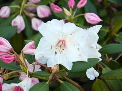 Pěnišník 'Virginia Richards' - Rhododendron (T) 'Virginia Richards'