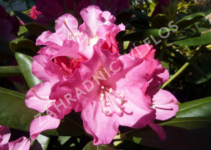 Pěnišník 'Polaris' - Rhododendron (Y) 'Polaris'
