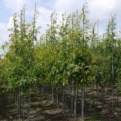Dub bahenní - Quercus palustris
