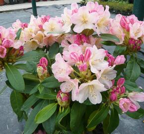 Pěnišník 'Percy Wiseman' - Rhododendron (Y) 'Percy Wiseman'