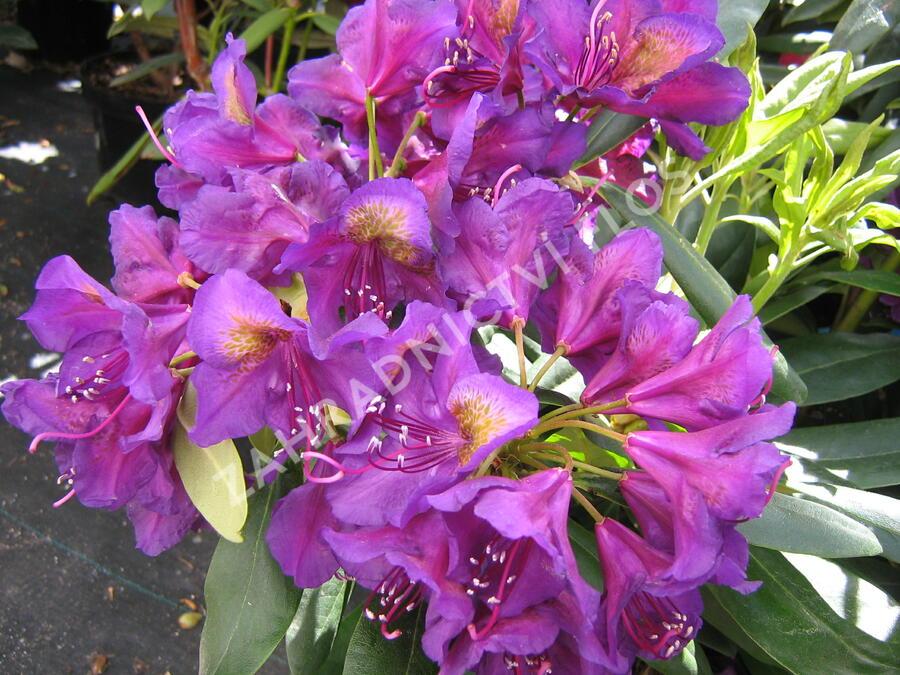 Pěnišník 'Marcel Menard' - Rhododendron (T) 'Marcel Menard'