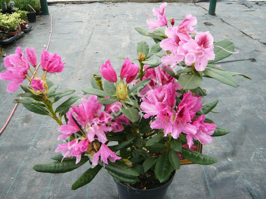Pěnišník 'Cosmopolitan' - Rhododendron (Y) 'Cosmopolitan'