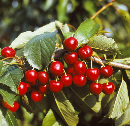 Třešeň raná - polochrupka 'Burlat' - Prunus avium 'Burlat'