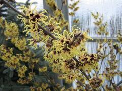 Vilín prostřední 'Primavera' - Hamamelis intermedia 'Primavera'