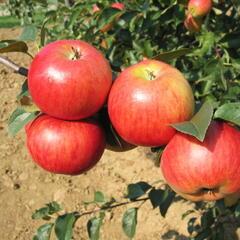 Jabloň zimní 'Rubinola' - Malus domestica 'Rubinola'