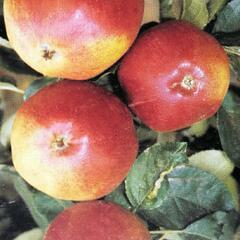 Jabloň domácí 'Matčino' - Malus domestica 'Matčino'