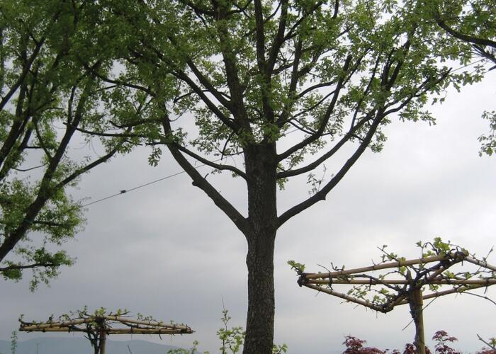 Dub pýřitý - Quercus pubescens