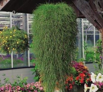 Psineček výběžkatý - Agrostis stolonifera