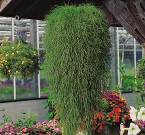 Psineček výběžkatý 'Green Twist' - Agrostis stolonifera 'Green Twist'