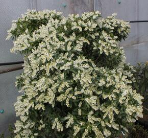 Pieris japonský 'Purity' - Pieris japonica 'Purity'