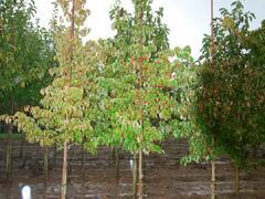 Dřín japonský - Cornus kousa chinensis