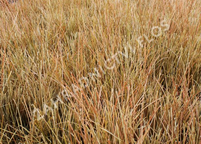 Ostřice chocholatá 'Kupferflamme' - Carex comans 'Kupferflamme'