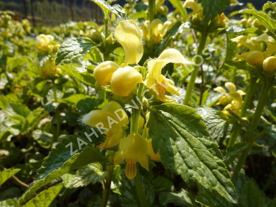 Pitulník žlutý - Lamiastrum galeobdolon